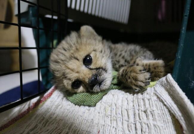 Gepardenjunges im Cheetah Conservation Fund