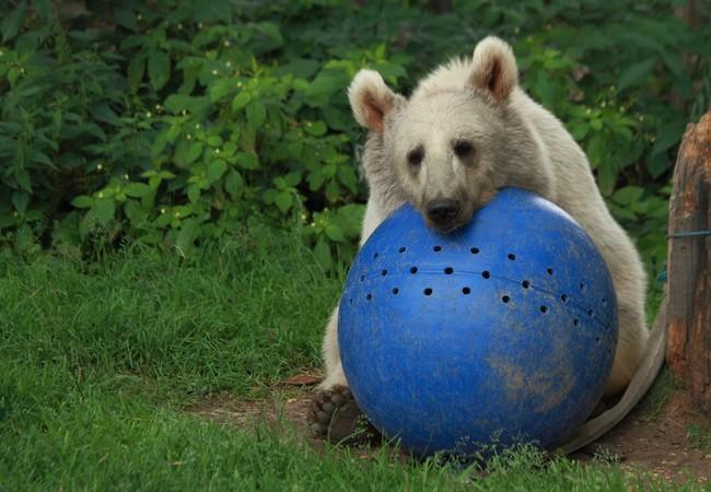 Junger Bär auf grüner Wiese, ruht auf großem blauen Ball