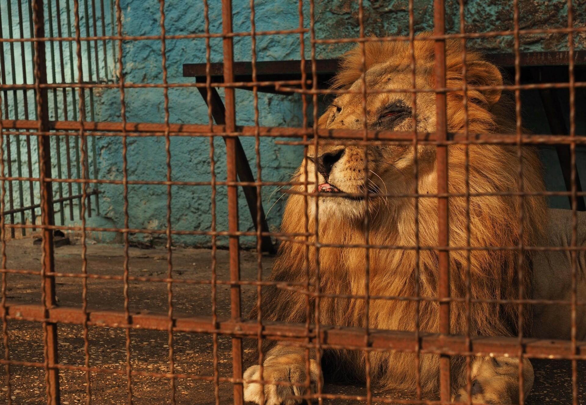 Lion at Safari Park Zoo, Albania