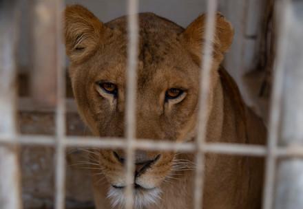 Löwin im Gaza Zoo