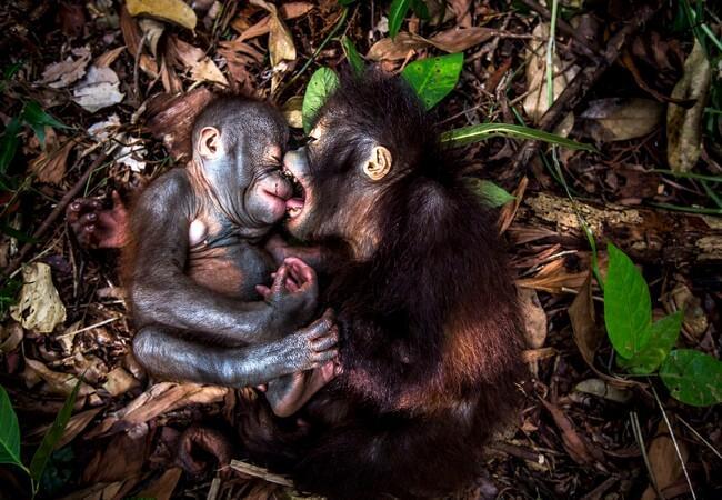 Orangutan Teger (L) and Gerhana (R)