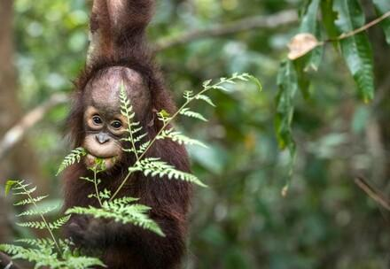 Orangutan at the ORANGUTAN FOREST SCHOOL