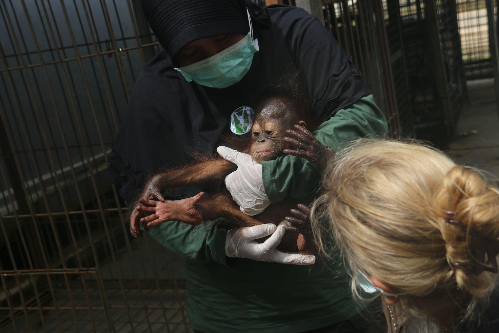 Orangutan Gonda when he was rescued