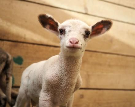 Surprise lamb Mărțișor