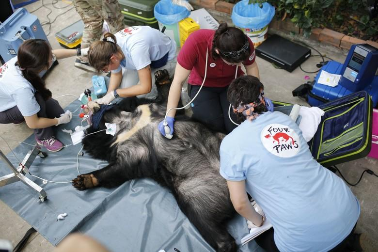 Dr. Painer und Team beim Vetcheck eines Kragenbären (c) Hoang Le | VIER PFOTEN