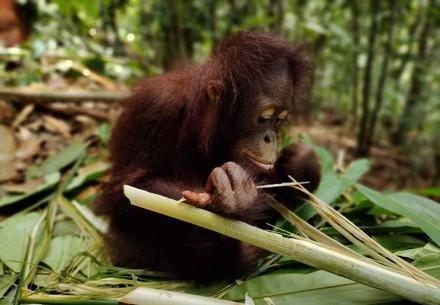 Orangutan Damai eating at the ORANGUTAN FOREST SCHOOL
