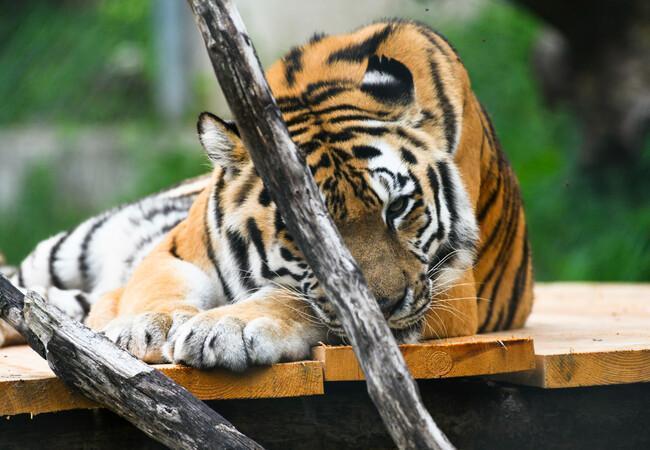 Geretteter Tiger beim Schlafen