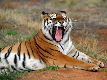 Tiger in LIONSROCK