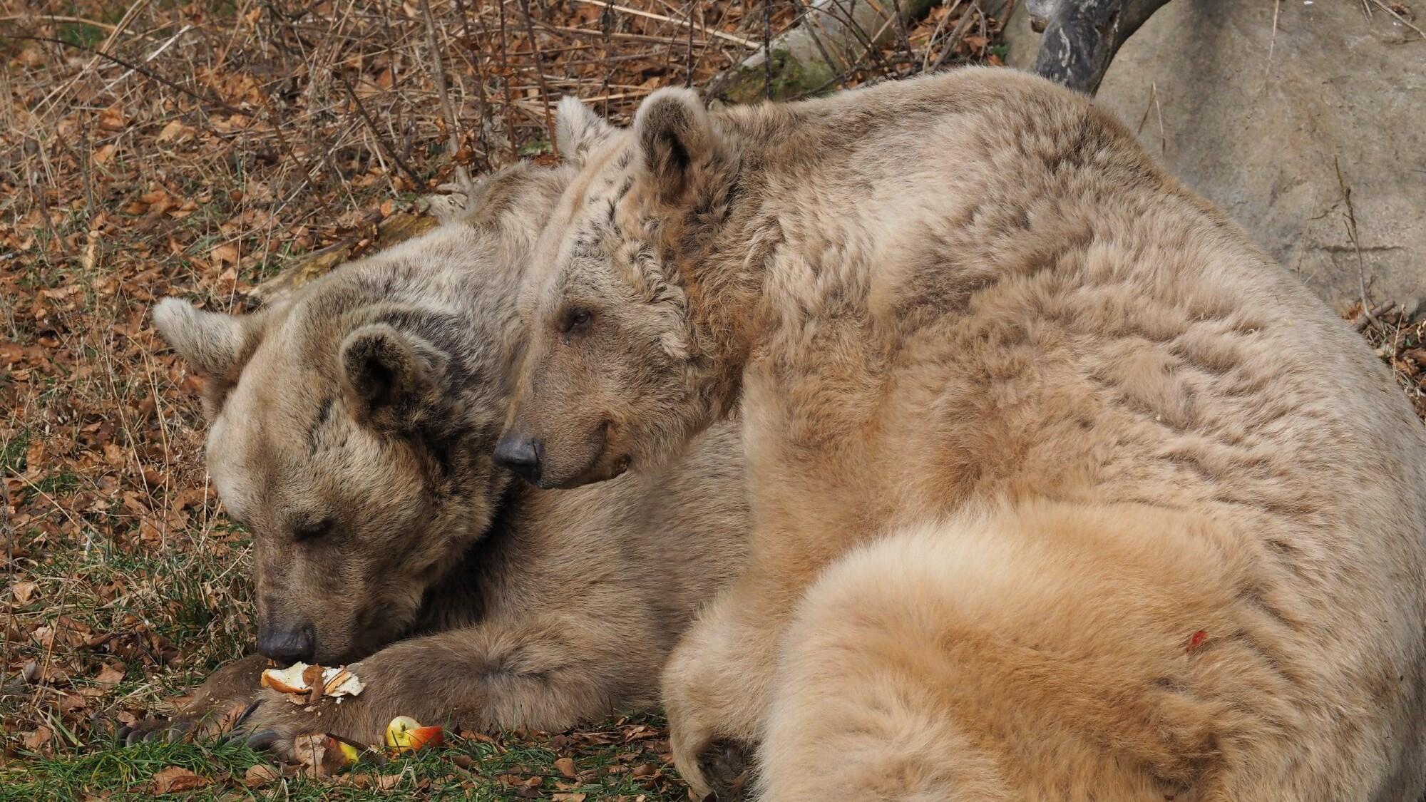 Zwei Bären zusammen beim Fressen
