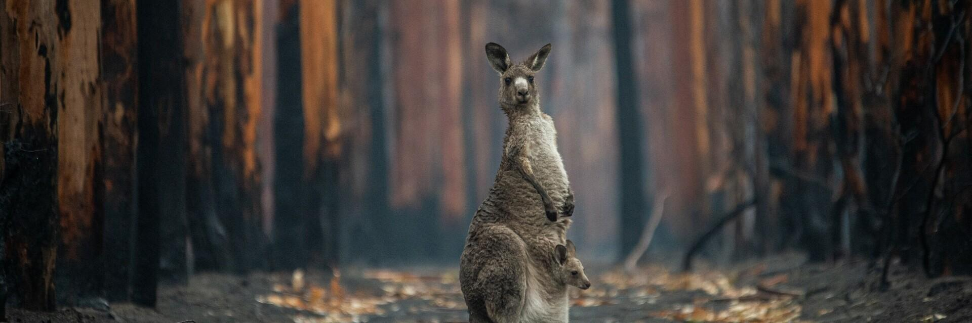 An Eastern grey kangaroo and her joey who survived the forest fires in Mallacoota. Australia, 2020.