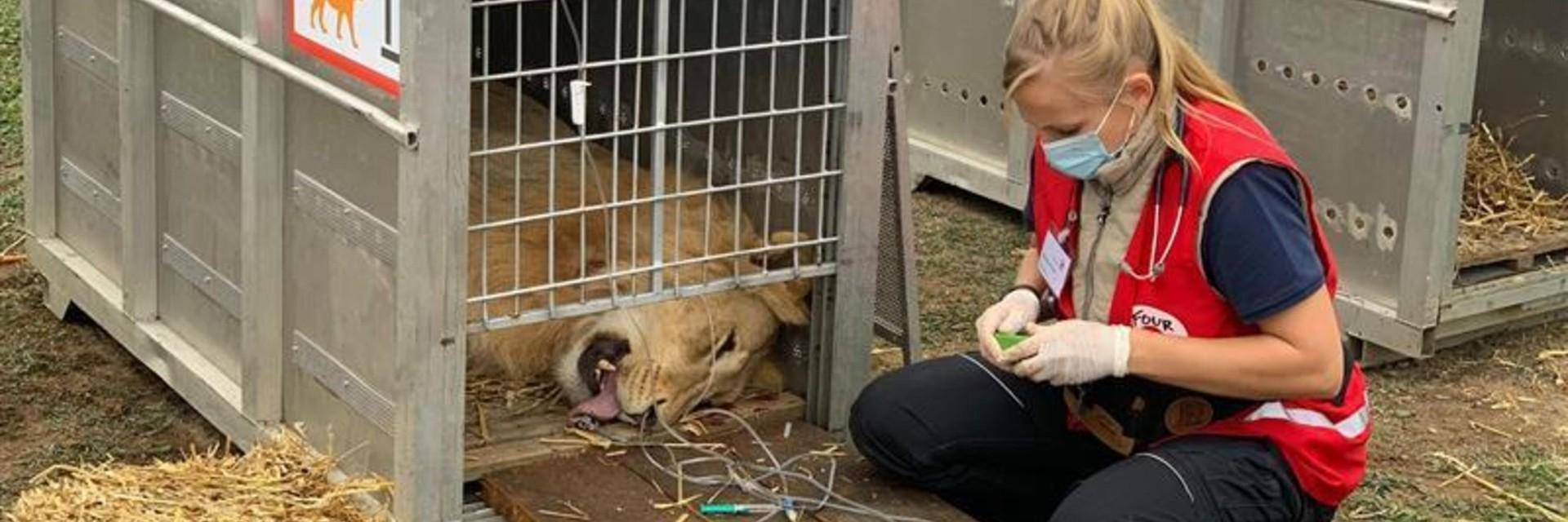 Lion rescue in Romania