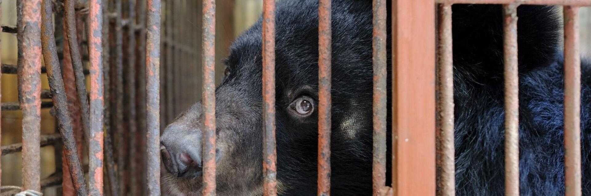 bile bear in Vietnam