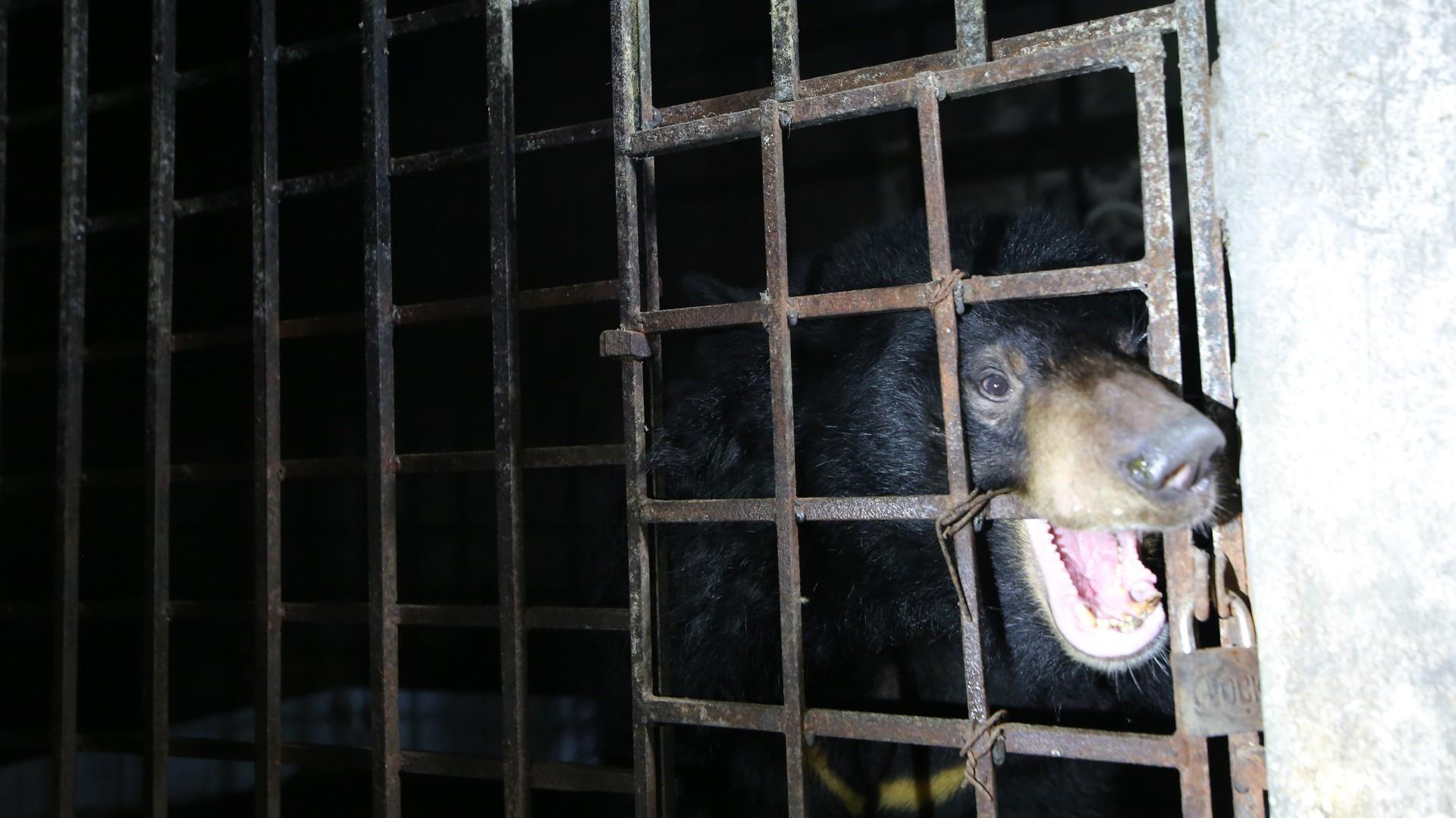Gallebär Xuan im Käfig in Vietnam