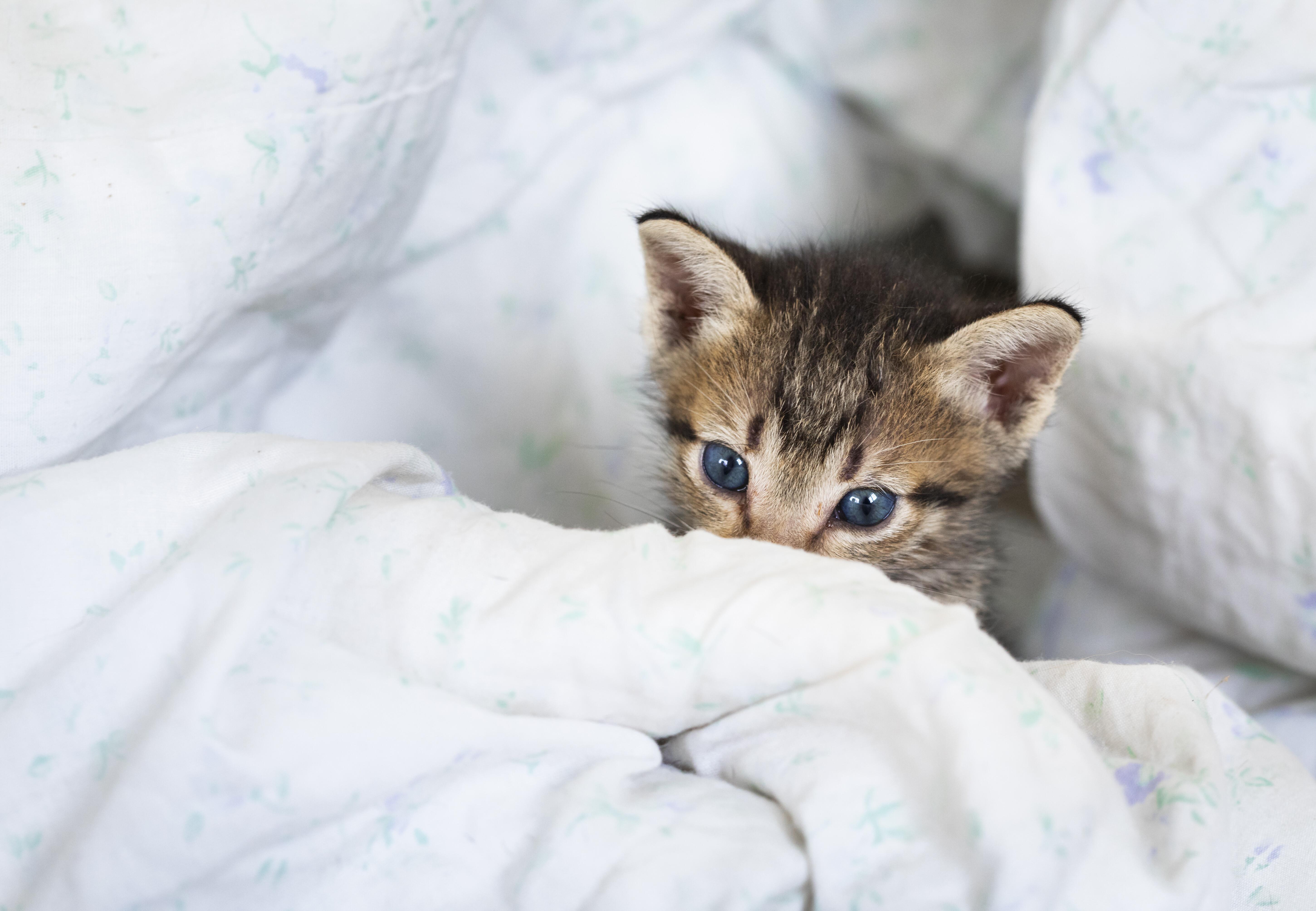 Kitten Hazel