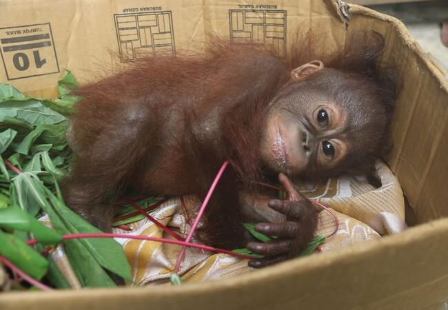 Baby orangutan Gonda after rescue