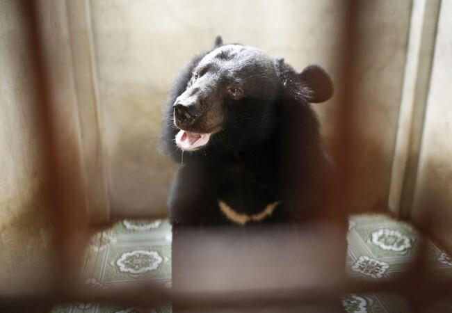 Black bear Lim after rescue