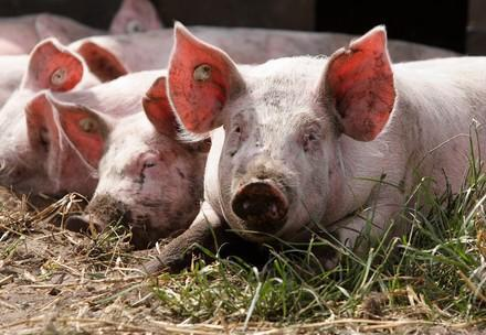 Free range pigs on the Neuland Hof Solterbeck in Schleswig Holstein   Germany   Copyright Notice: © VIER PFOTEN   Fred Dott  © Status: All Rights