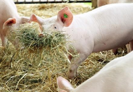 Schwein beim Spiel mit Heu und Stroh