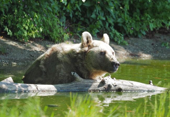 Braunbär im Wasser bei Holzstamm