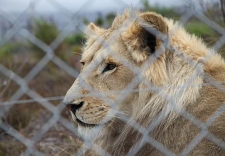 Captive lion at breeding farm