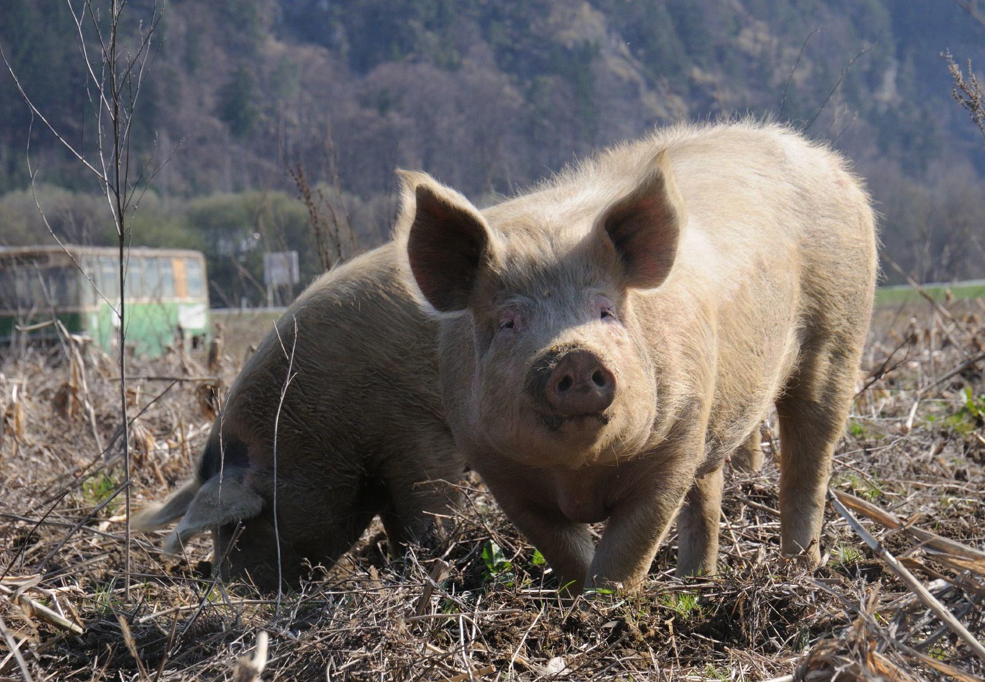 Free range pigs enjoying the mud