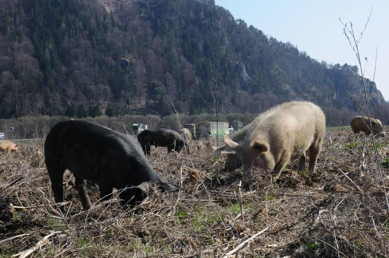 Pigs spend 70 percent of the day exploring their environment and looking for food