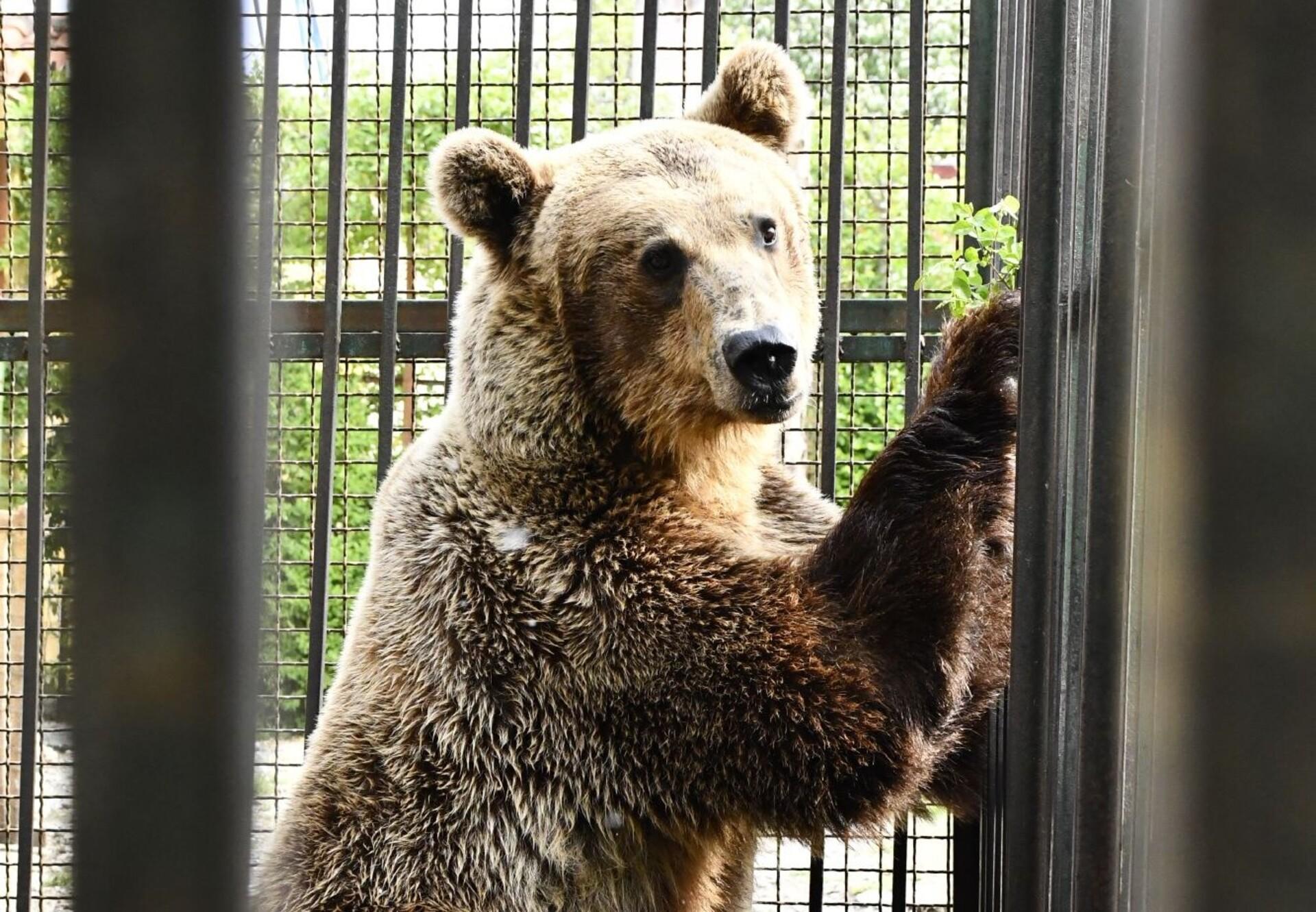 Bear Rocco