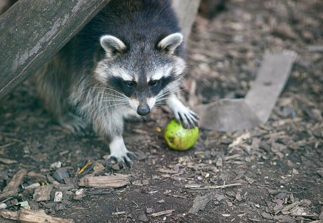 A Racoon enjoying an autumn Apple at TIERART