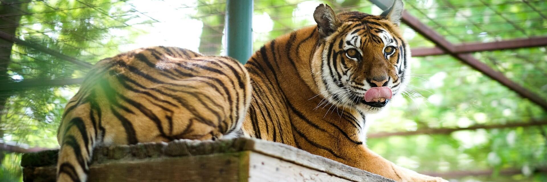 Tigress Dehi at FELIDA