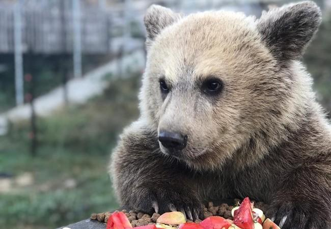 Bear cub Andri eating