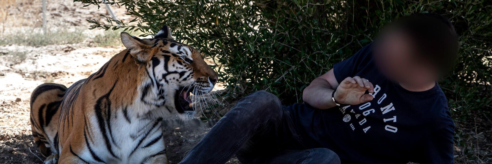Tiger mit Tourist