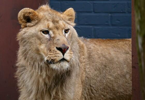 Lion Ivan-Asen at FELIDA