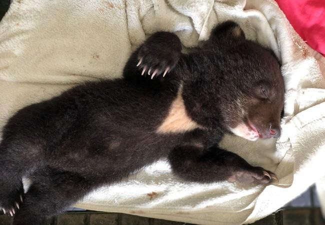 Rescued bear cub Mochi sleeping