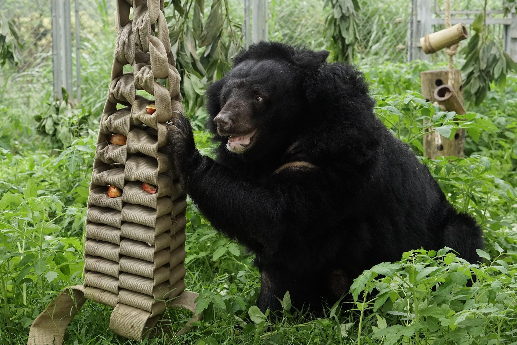 Bear Xoai enjoying the outdoors