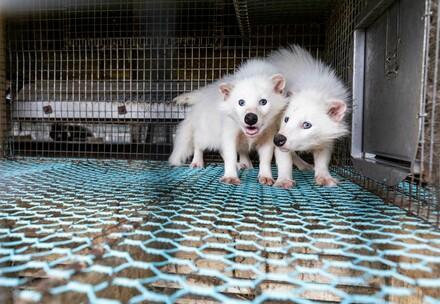 Raccoon dog at fur farm in Finnland