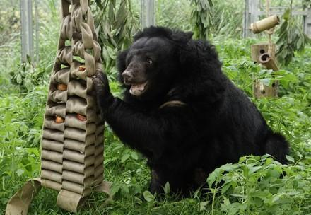 Rescued bear playing
