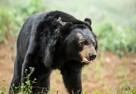 Les ours asiatiques à collier