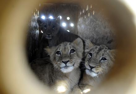 two lions - canned hunting