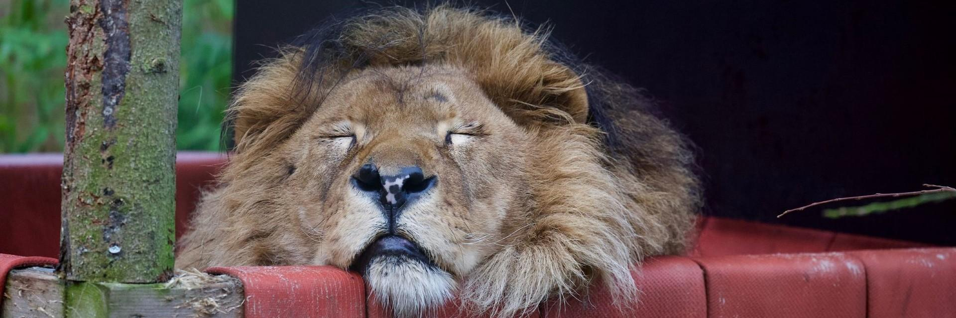 Löwe Bobby entspannt sich
