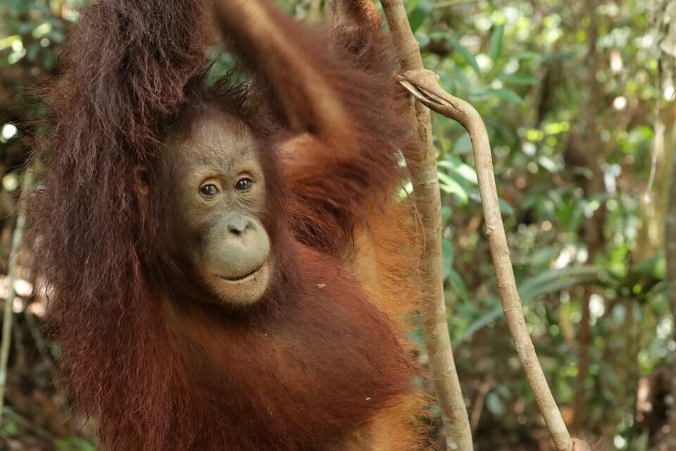 Orangutan Eska