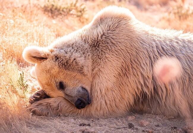 Bear in Al Ma'wa