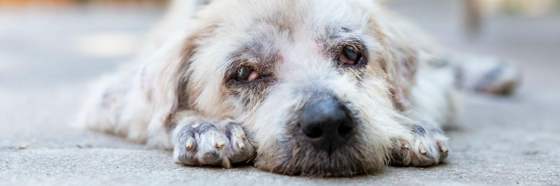 Hund Goh in Silk Island