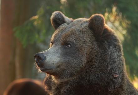 Brown bear at BEAR SANCTUARY Arbesbach