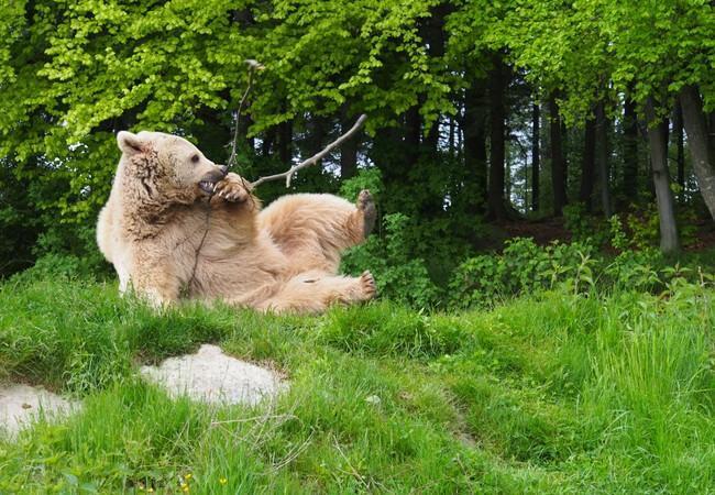 Junger Bär im Grünen spielt mit kleinem Ast