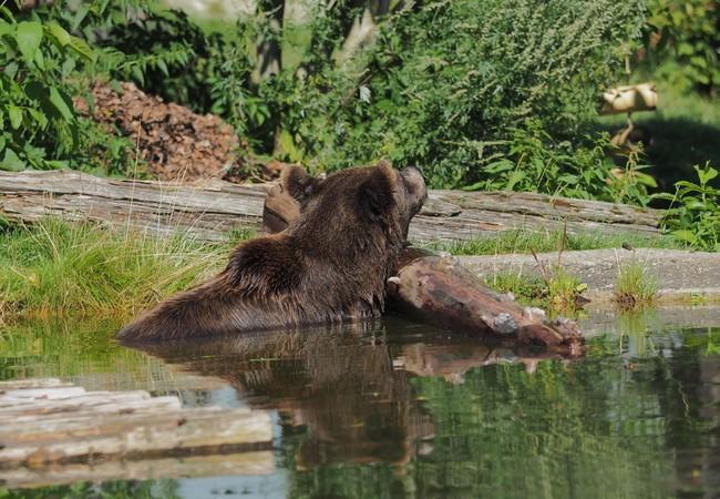 Bär im Wasser lehnt auf Holzstamm
