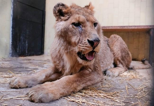 Lion Ivan-Asen before he was rescued