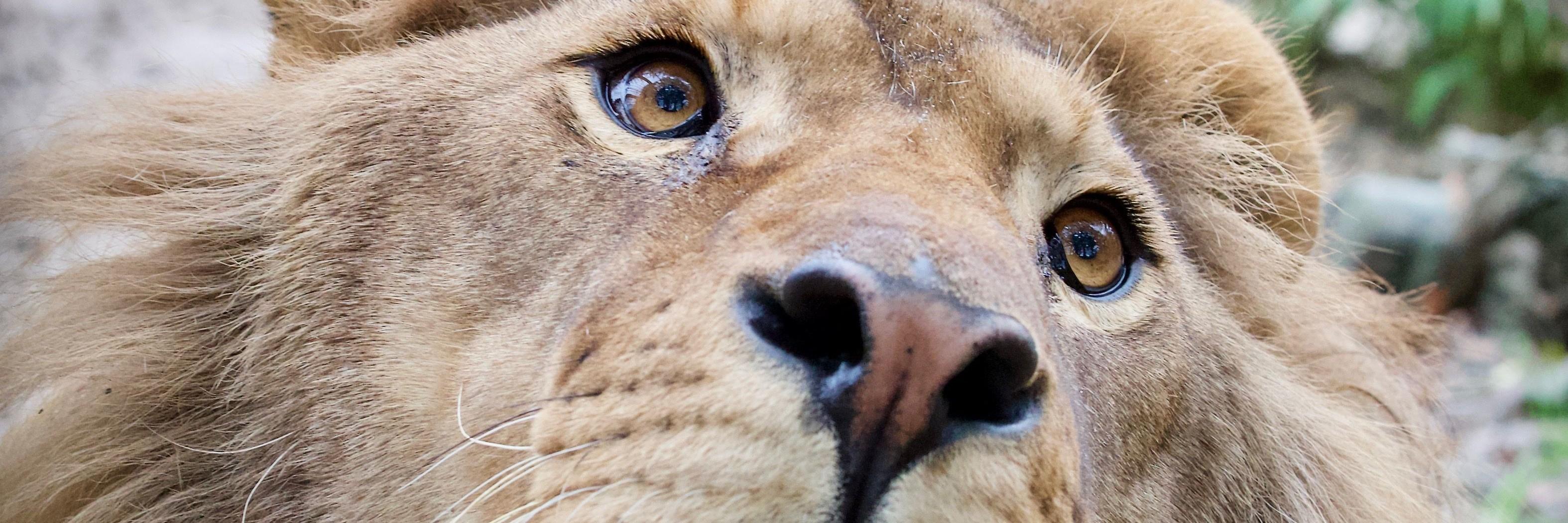 Leeuw Ivan-Asen in FELIDA