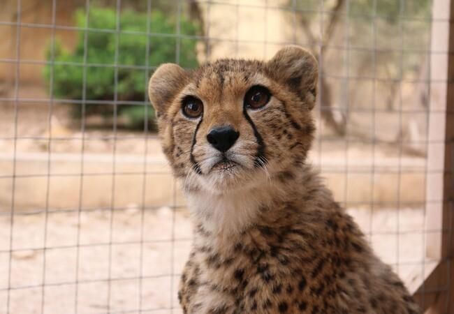 Gepard Harry im Cheetah Conservation Fund in Somaliland