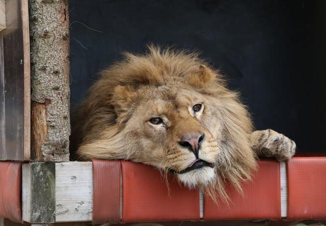 Leeuw Ivan-Asen in zijn hangmat