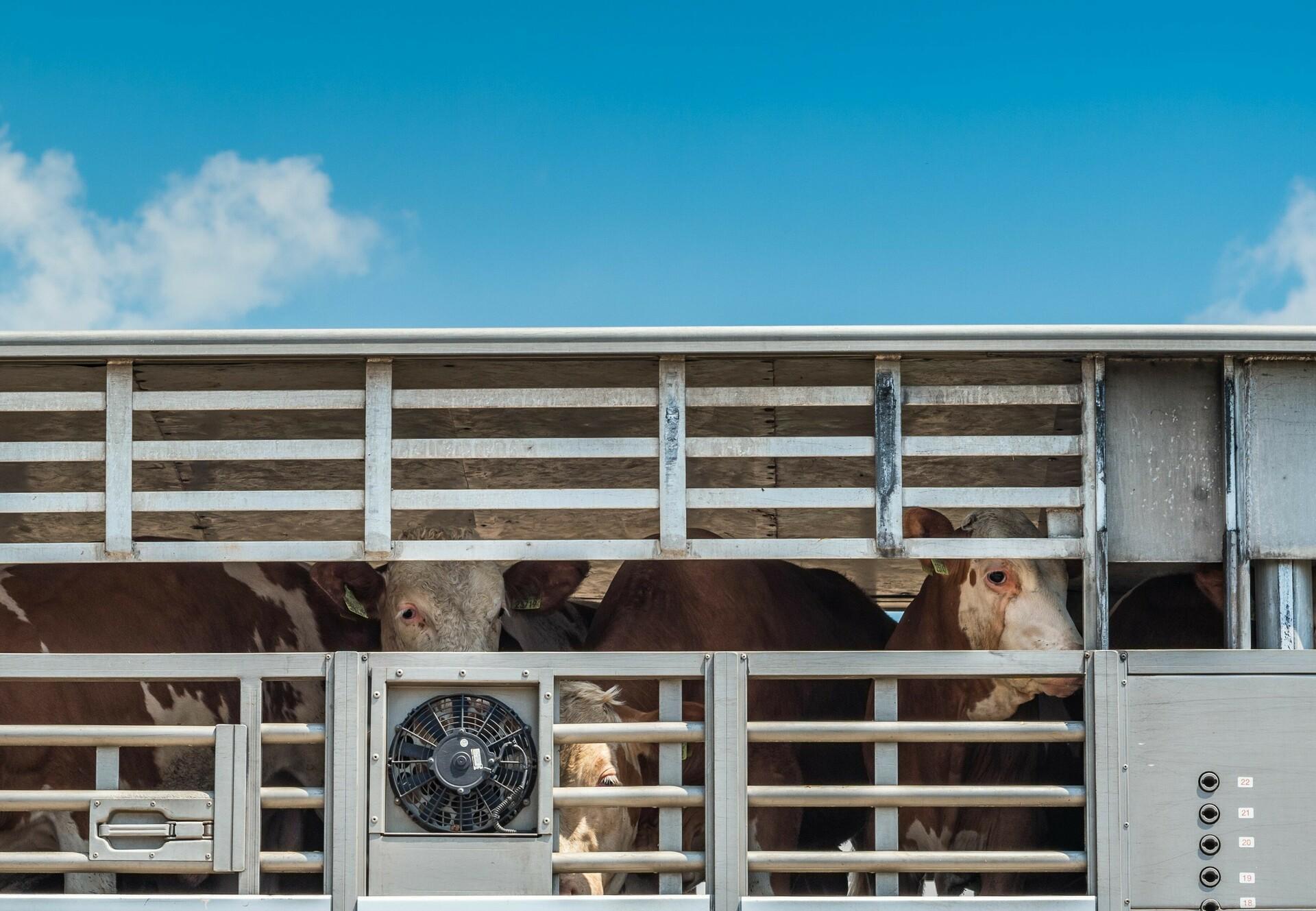 Tiertransport mit Rindern